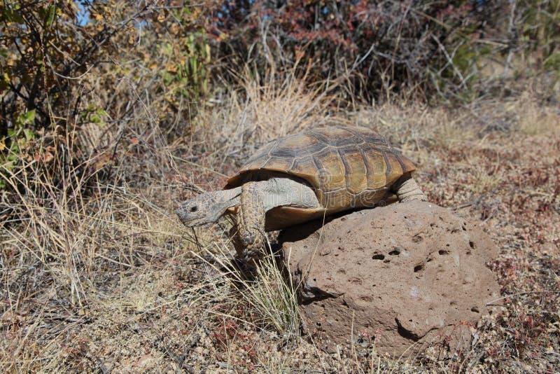 Desert Tortoise Climbing Over Rock. A desert tortoise in the arizona desert stock photo