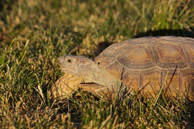 Desert Tortoise. A close up of a desert tortoise royalty free stock photography