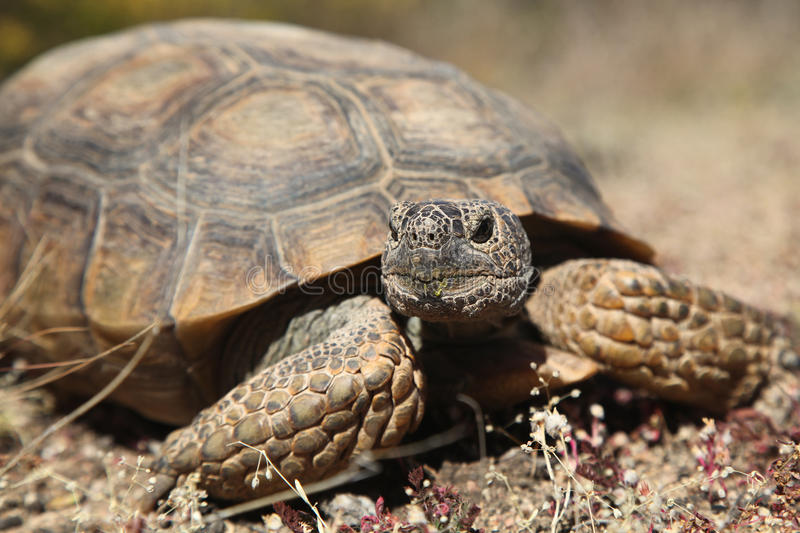 Desert Tortoise Close Up stock photography