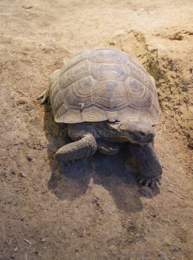 Desert Tortoise. Close up of a desert tortoise royalty free stock photos