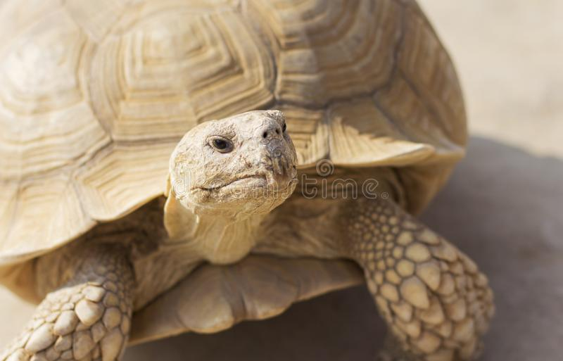 Desert tortoise. Close up in the zoo stock photography