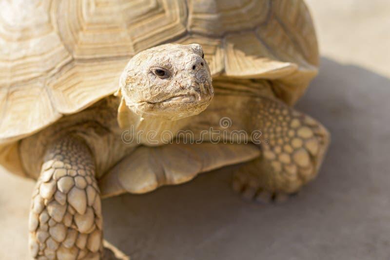 Desert tortoise. Close up in the zoo stock photo