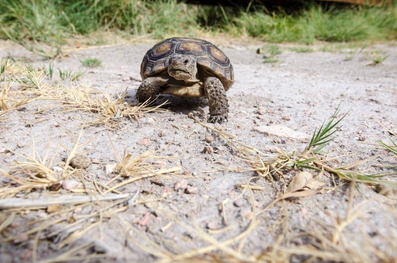 A desert tortoise crawls along on the desert floor in the summer. In Nevada royalty free stock images