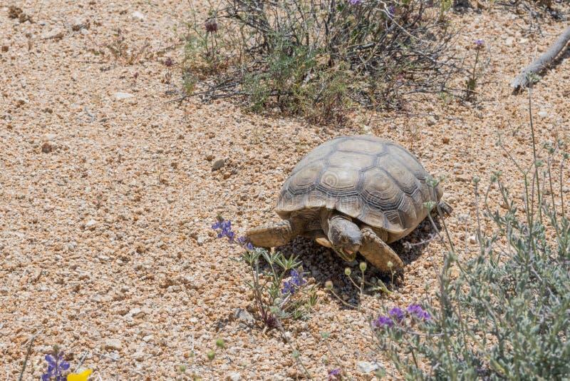 Desert Tortoise Crosses Brush in Joshua Tree. During the Super Bloom stock image