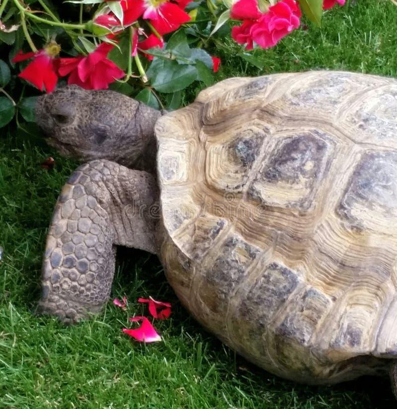 Desert tortoise eating roses royalty free stock photography
