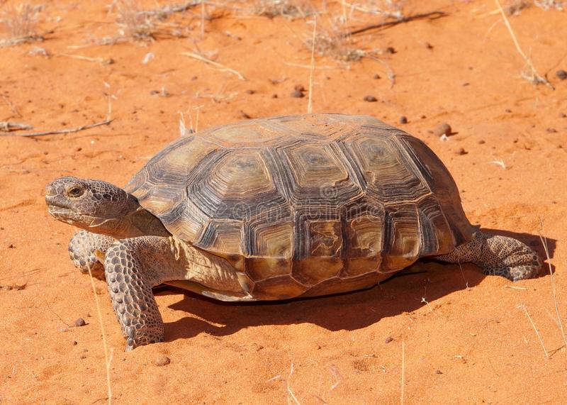 Desert Tortoise, Gopherus agassizi. An endangered large desert dwelling turtle in southwestern USA walking across the hot desert sand royalty free stock image