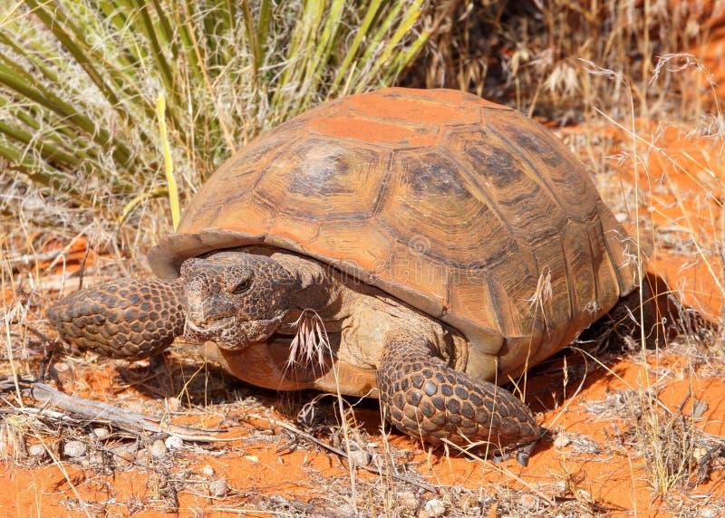Desert Tortoise, Gopherus agassizi. Turtle called a Desert Tortoise, Gopherus agassizi, an endangered large desert dwelling turtle in southwestern USA stock photo