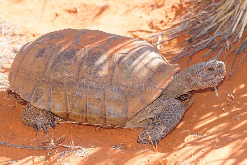 Desert Tortoise, Gopherus agassizi. An endangered large desert dwelling turtle hiding in the shade from the hot desert sun royalty free stock photography