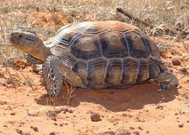 Desert Tortoise, Gopherus agassizii. A Large Threatened Desert Tortoise, Gopherus agassizii, in red sand desert royalty free stock photos