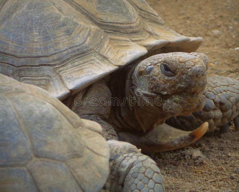 Desert Tortoise Gopherus agassizii. Portrait photo royalty free stock images