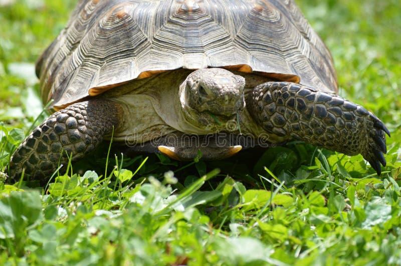 Desert Tortoise. A desert tortoise in the grass royalty free stock images