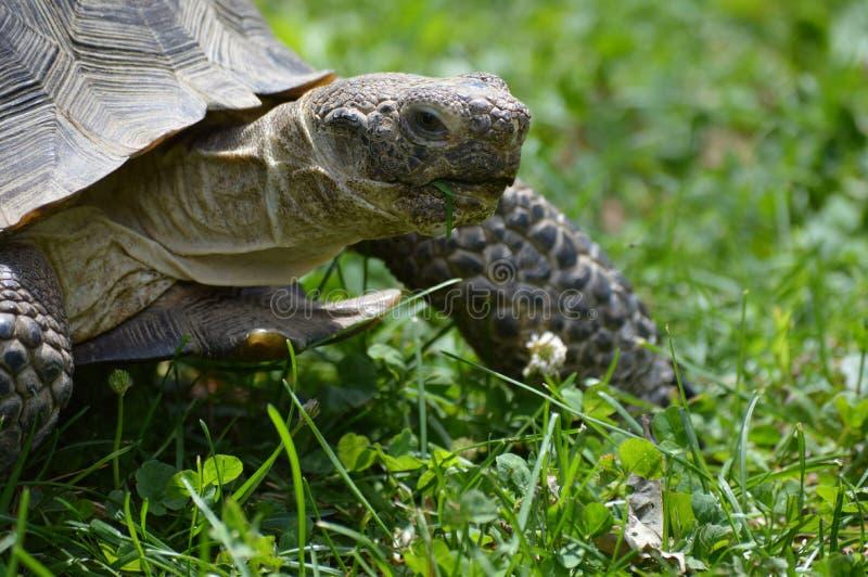 Desert Tortoise. A desert tortoise in the grass royalty free stock photos
