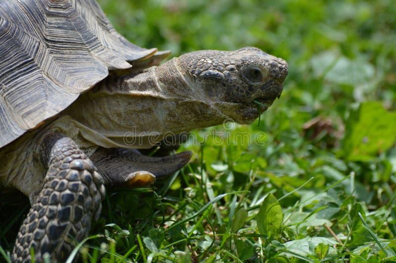 Desert Tortoise. A desert tortoise in the grass stock image
