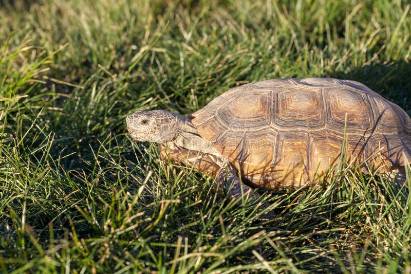 Desert Tortoise in Grass in Arizona stock photos