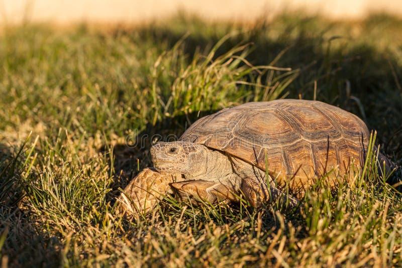 Desert Tortoise in Grass in Arizona stock image