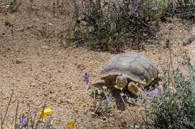 Desert Tortoise Grazes on Spring Flowers. With copy space to left royalty free stock photography