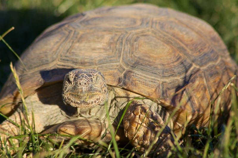 Desert Tortoise Head on. A close up head on portrait of a desert tortoise stock photography