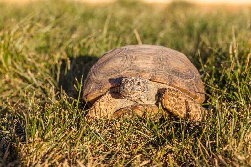 Desert Tortoise Head on stock image