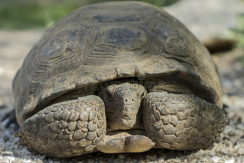 Desert Tortoise Hiding & Peeking out From Inside His Shell. A Desert Tortoise in The Sonoran Desert hiding with his head peeking out from inside its shell int stock photography