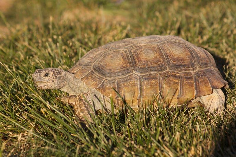 Desert Tortoise royalty free stock images