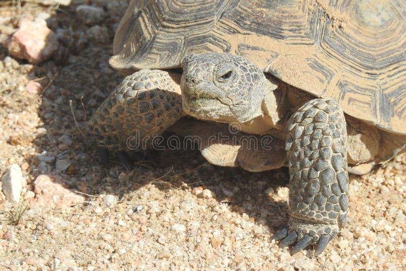 Desert Tortoise of the Mojave Desert stock images