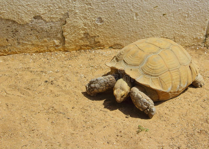 Desert tortoise. A picture of a giant desert tortoise in a wildlife park royalty free stock photo
