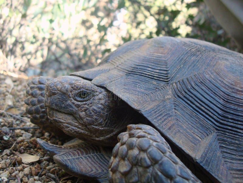 Desert Tortoise. Sonoran Desert Tortoise in the desert mountains royalty free stock photography