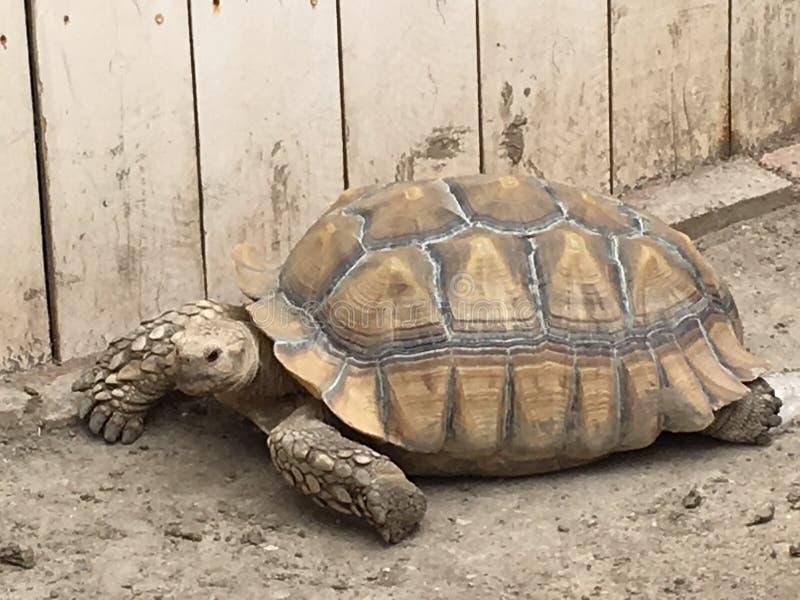 Desert Tortoise royalty free stock photos
