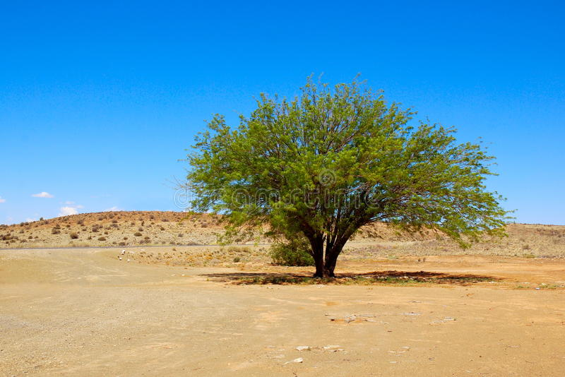 Download Desert tree stock image. Image of africas, small, karoo - 12303063