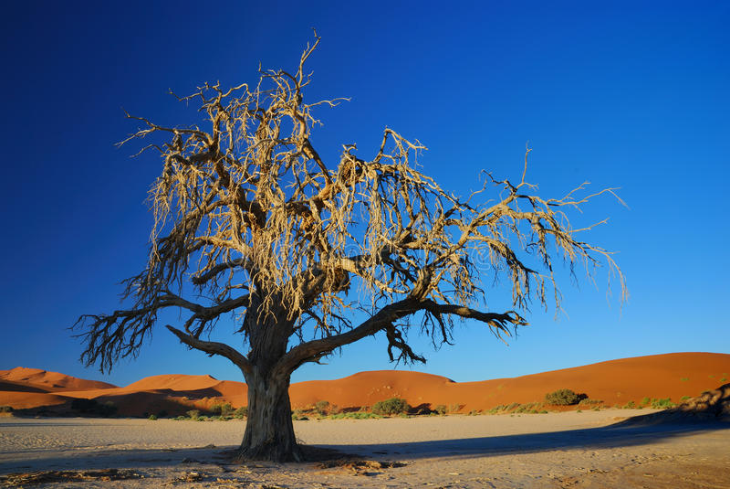 Desert Tree In The Spot Light Of The Sun Royalty Free Stock Images