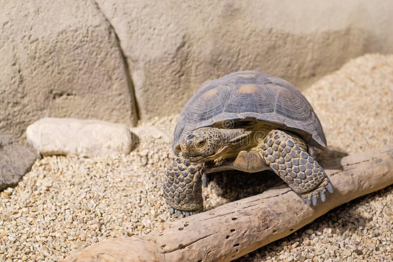 Desert Turtle. With one hand on wooden log stock photos