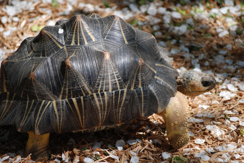 Desert Turtle with an Unusual Shell in the Wild stock photo