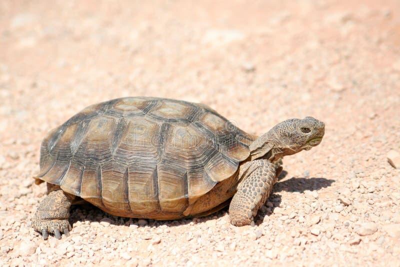 Desert turtle wild animal. Endangered desert turtle wild animal royalty free stock photo