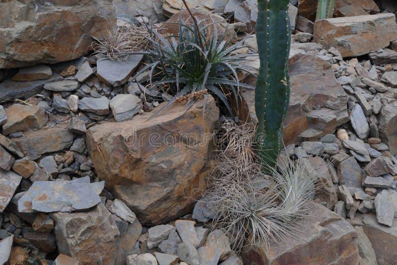 Desert vegetation. Cactus in rocky desert vegetation royalty free stock photo