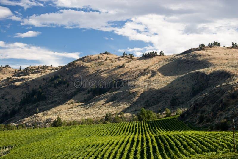 Download Desert Vineyard stock photo. Image of vineyard, alcohol - 3243588