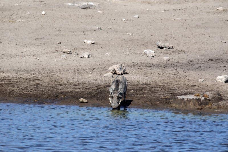 Desert Warthog, Phacochoerus aethiopicus, drinks from waterhole, Etosha National Park, Namibia. The Desert Warthog, Phacochoerus aethiopicus, drinks from royalty free stock photo