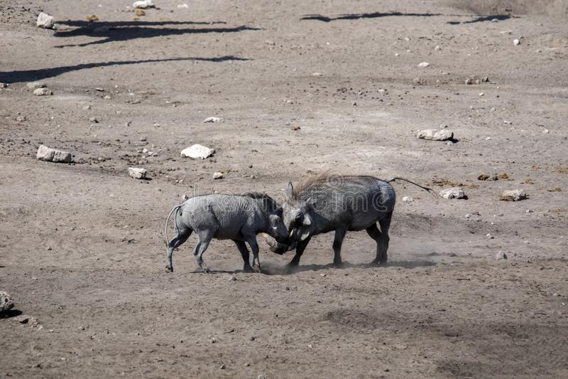 Desert Warthog, Phacochoerus aethiopicus, drinks from waterhole, Etosha National Park, Namibia. The Desert Warthog, Phacochoerus aethiopicus, drinks from royalty free stock photography