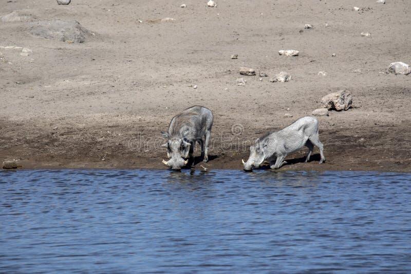 Desert Warthog, Phacochoerus aethiopicus, drinks from waterhole, Etosha National Park, Namibia. The Desert Warthog, Phacochoerus aethiopicus, drinks from stock images