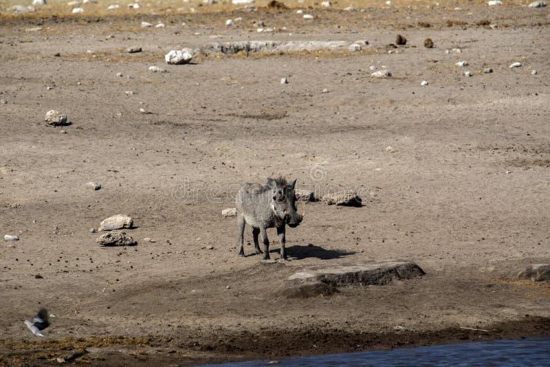 Desert Warthog, Phacochoerus aethiopicus, drinks from waterhole, Etosha National Park, Namibia. The Desert Warthog, Phacochoerus aethiopicus, drinks from royalty free stock image