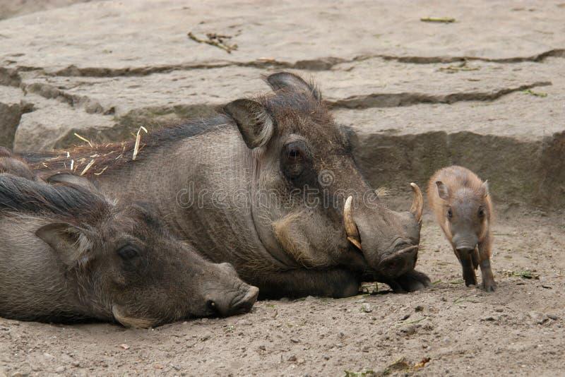 Desert warthogs stock images