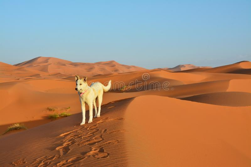 Dog, Desert, the Western Sahara in Morocco. Africa. Desert, the Western Sahara in Morocco. Africa stock photo