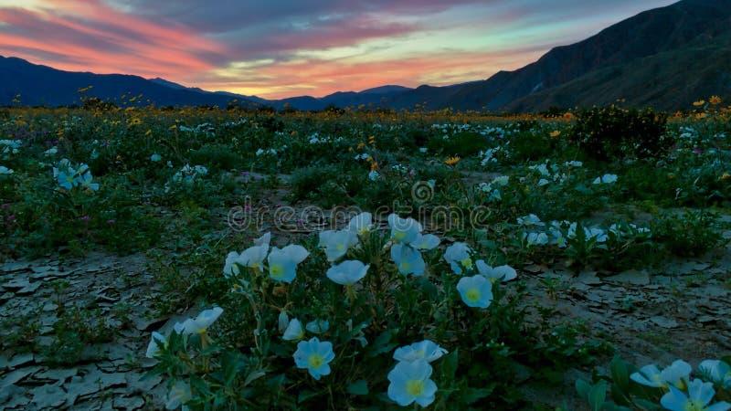 Desert wildflower colorful sunset royalty free stock photo
