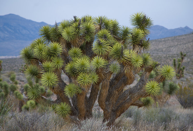 Desert Yucca In Bloom royalty free stock photo