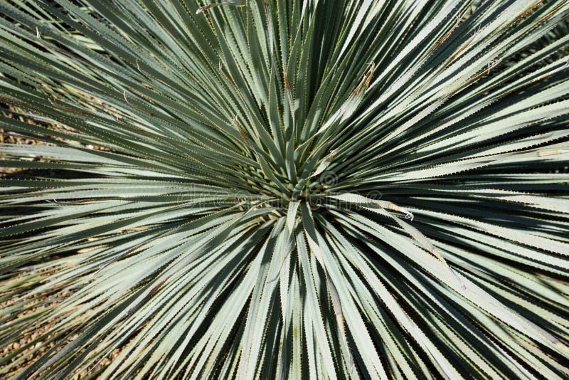 Desert Yucca-växt med utstrålade spikar arkivbilder