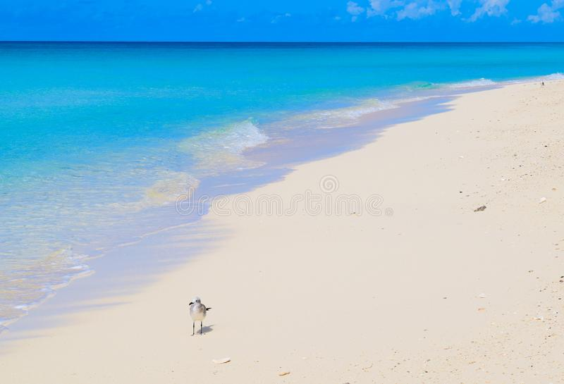 Deserted Caribbean Beach on Bimini, Bahamas. A lonely seagull stands guard on a deserted stretch of pristine white sand beach on the Bahamian island of North royalty free stock photography