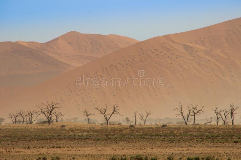 Deserted dry orange landscape of Namibia and grazing herd of antelope stock images