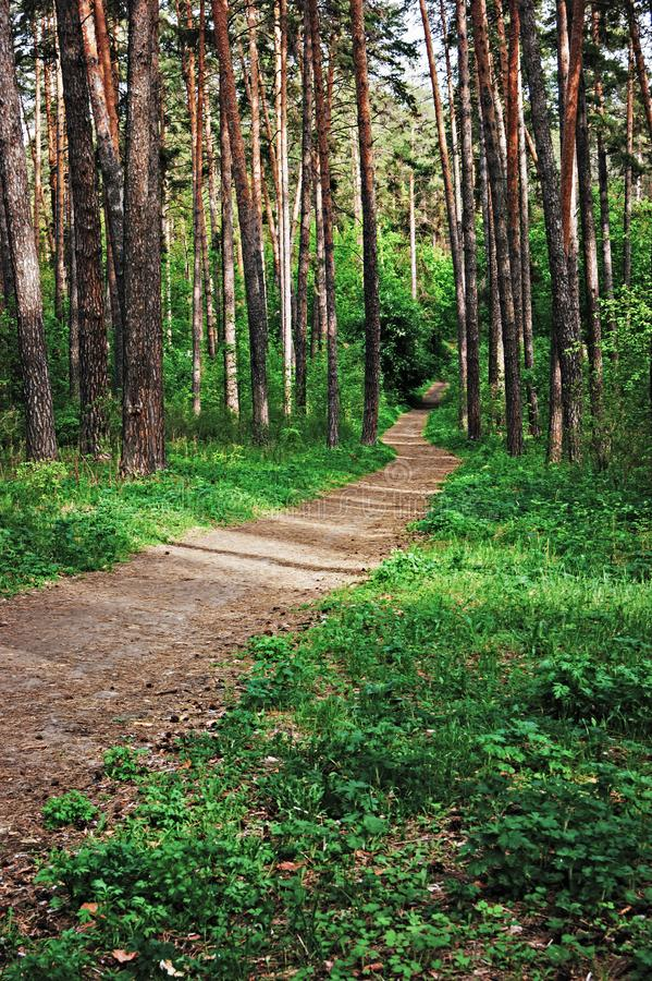 Path in the pine forest. Deserted path in the pine forest stock photos