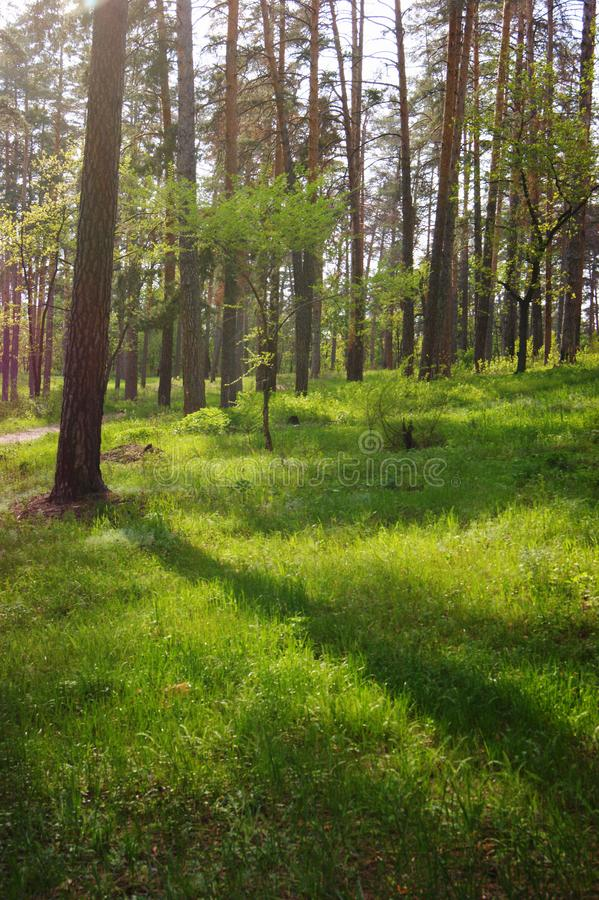 Pine forest. Deserted path in the pine forest royalty free stock images