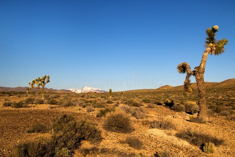 Desertera landskapet med busken, buskar och kakturs, sikten av det snöig berget på baksidan, kaktusträd framme av torrt löst land royaltyfri foto