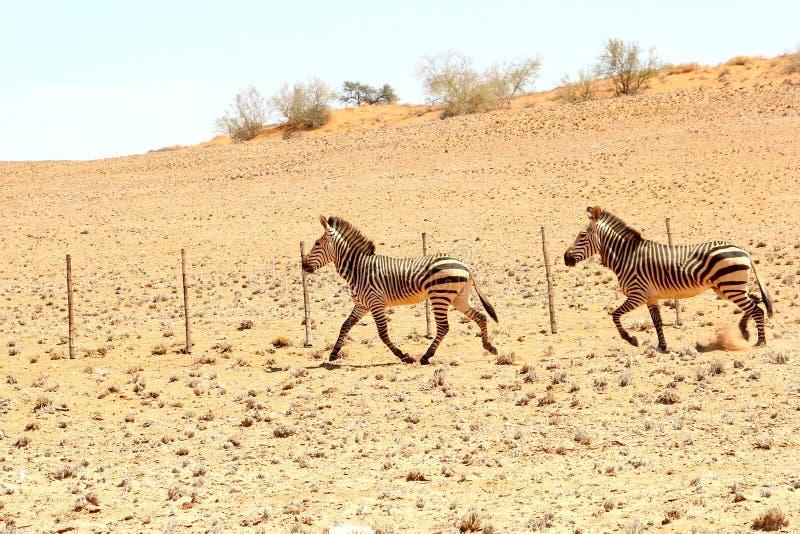 Deserto corrente delle coppie della zebra, Nambia fotografia stock